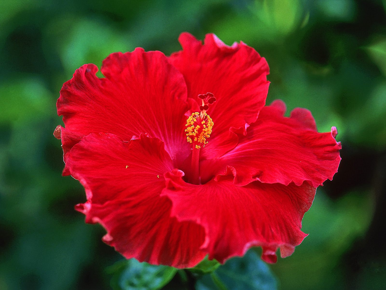 Did you know this flower can be an amazing remedy for your hair and hibiscus powder izmirmasajfo